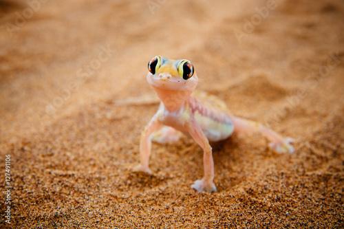 Photo  Namibgecko im Sand, Windhoek, Namibia