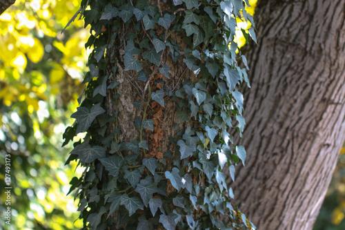 Fotografie, Obraz  Green ivy leaves climbing on the tree.