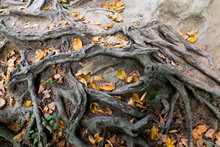 Autumn Leaves Caught In Entwined Tree Roots