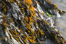 A Close Up Landscape Image Of Seaweed On A Rock.