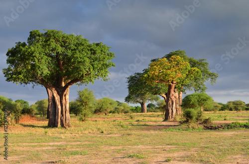 Staande foto Baobab baobab dans la savane