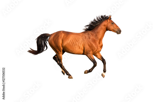 Purebred red running horse isolated on white background.