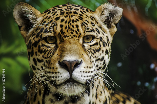 Fotografia Taunting the Jaguar 3
