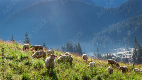 Photo sur Aluminium Sheep Wonderful flock of sheep grazing at dawn, Tatra Mountains