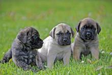 Three English Mastiff Puppies ...