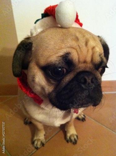 Mops Bilder Weihnachten.Mops Weihnachten Unglücklich Buy This Stock Photo And Explore