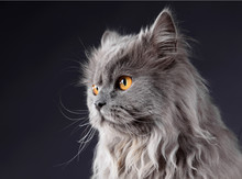 Persian Grey Cat