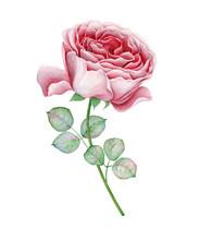 Watercolor Pink English Rose