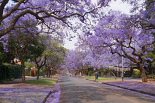 Beautiful Jacaranda Flowers In Pretoria,South Africa.