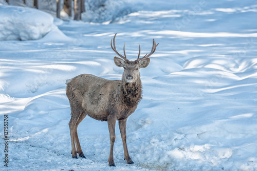 Poster Taupe male deer portrait while looking at you on snow background