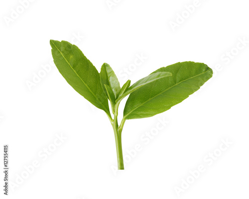 Poster Muguet de mai Green tree top isolated on white background.