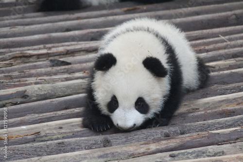Fotografie, Obraz  Baby Panda