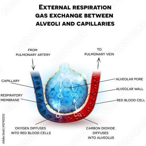 Alveoli anatomy, external respiration gas exchange between alveoli and capillari Wallpaper Mural