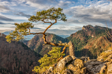 FototapetaDwarf pine tree on Sokolica peak, Pieniny, Poland