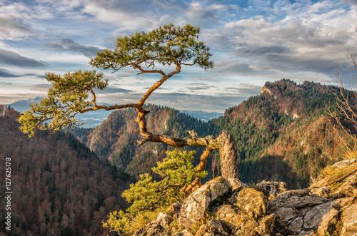 Fototapeta Dwarf pine tree on Sokolica peak, Pieniny, Poland obraz