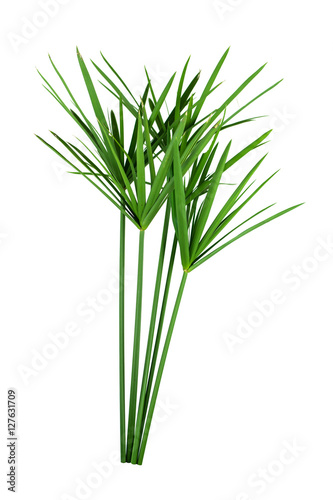 Fotografie, Obraz  papyrus green plant isolated on white background