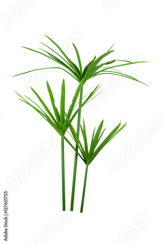 Fotografie, Obraz  papyrus green plant isolated on white background
