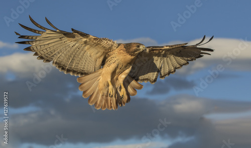 Photo  Red-Tail Returning - A well trained red-tailed hawk returns to its perch when summoned just after sunrise