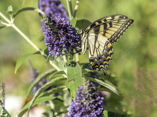 Recess Fitting Butterfly Eastern tiger swallowtail, Papilio glaucus