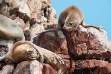 Group Of Fur Seals Sunbathing On The Red Cliffs. Isle Of Ballestas, National Wildlife Preserve Near Paracas, Peru.