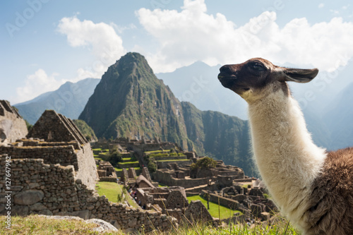 Llama in the ancient city of Machu Picchu, Peru. Overlooking ruins of the Inca citadel in the Andes Mountains and the river valley below.