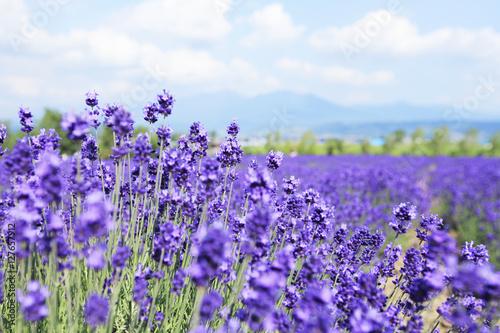 Foto op Aluminium Lavendel ラベンダー