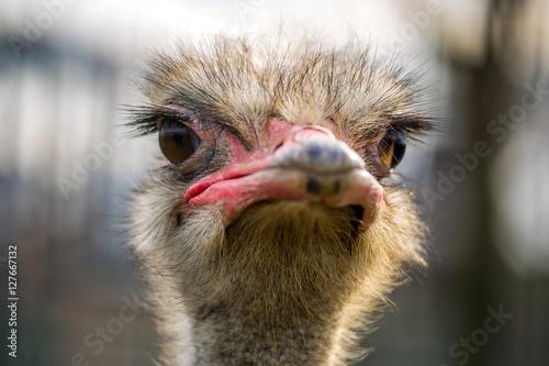 In de dag Struisvogel ostrich