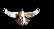 White Dove With Open Wings Flies On A Black Background