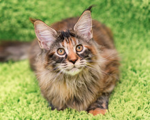 Fluffy Tortoiseshell Kitty - 4,5 Months Old - Lying On A Green Carpet. Portrait Of Domestic Maine Coon Kitten, Top View Point. Playful Beautiful Young Cat Looking Away.