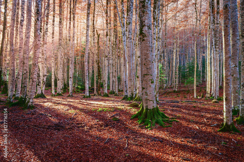 Autumnal landscape in a forest beech trees in the Natural Park Ordesa, Huesca, Spain