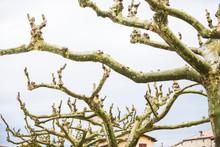 élagage/branches De Platanes