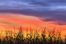 Magnificent Maize - Cornfield Silhouetted By A Sunset Sky Over Indiana