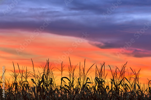 Fényképezés Magnificent Maize - Cornfield silhouetted by a sunset sky over Indiana