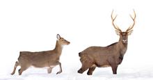 Close Young Deer