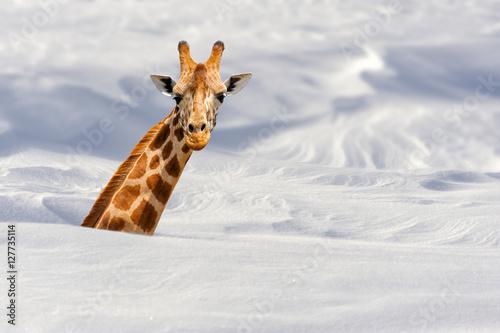 Cuadros en Lienzo Giraffe in snow