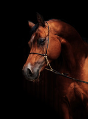 portrait of amazing  bay  arabian horse.