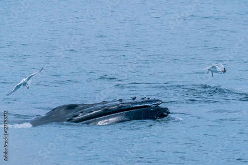 Photo  Humpback Whale Lunge Feeding near Stellwagen Bank Marine Sanctuary Gloucester Ma
