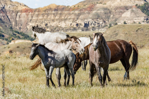 Papel de parede Wild horses in Theodore Roosevelt National Park.