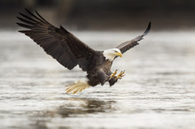 Fishing Bald Eagle