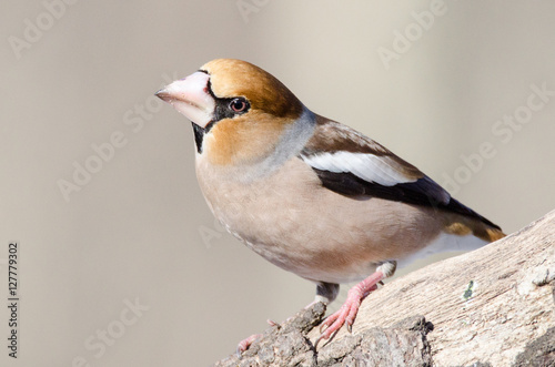 Fotomural Hawfinch (Coccothraustes coccothraustes)