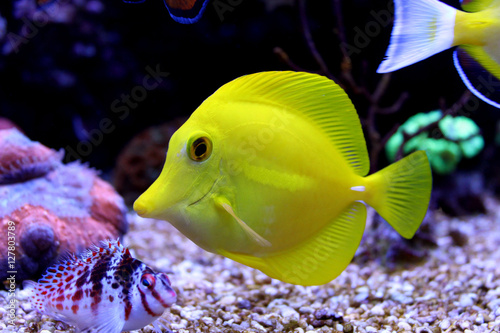 Fotografie, Tablou  Yellow Tang