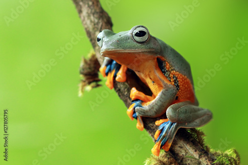 Photo sur Aluminium Grenouille Tree frog smile
