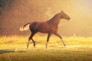 Red Akhal-Teke horse galloping on the trees background at the summer