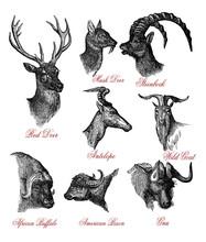 Vintage Wildlife Engraving Illustration Of Deer, Goat And Bison Horned Heads