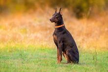 Doberman Dog Sitting In Autumn...