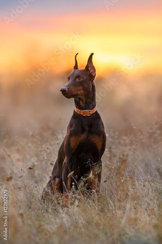 Fototapeta Doberman dog sitting in autumn field at sunset light