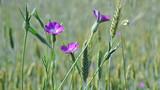 Fototapeta Kwiaty - Polne kwiaty wśród zbóż