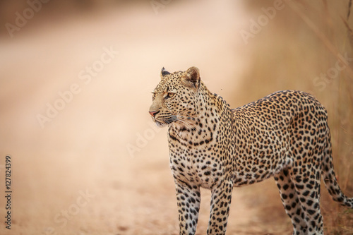 Fototapety, obrazy: Starring Leopard on the road.