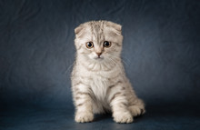 Portrait Of Scottish Straight Cat On Dark Blue Background