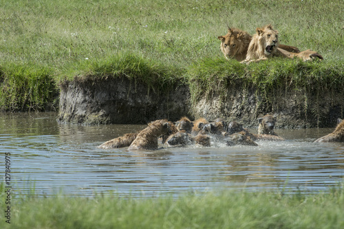 Foto op Plexiglas Hyena Hyenas Eating Baby Hippo as Lions Look On